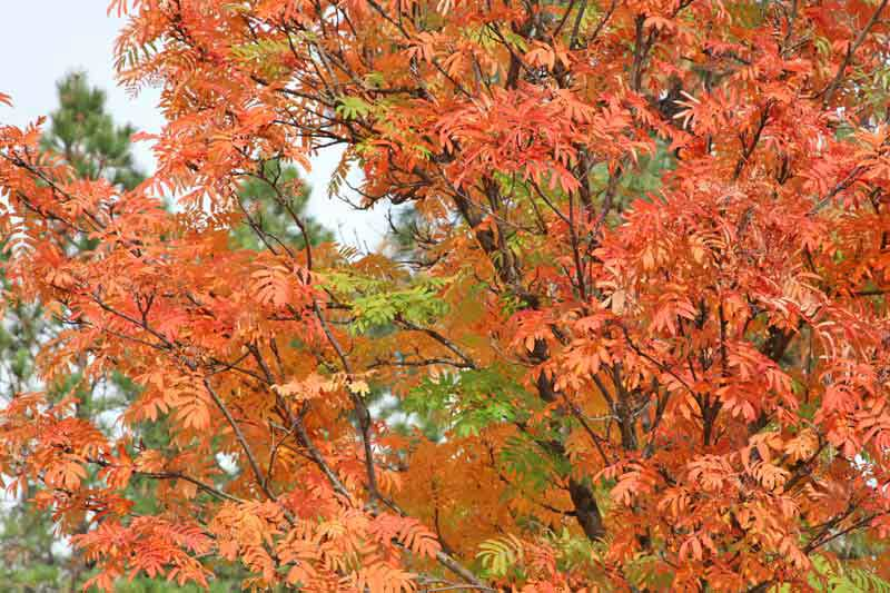 Mountain-Ash-in-October_w